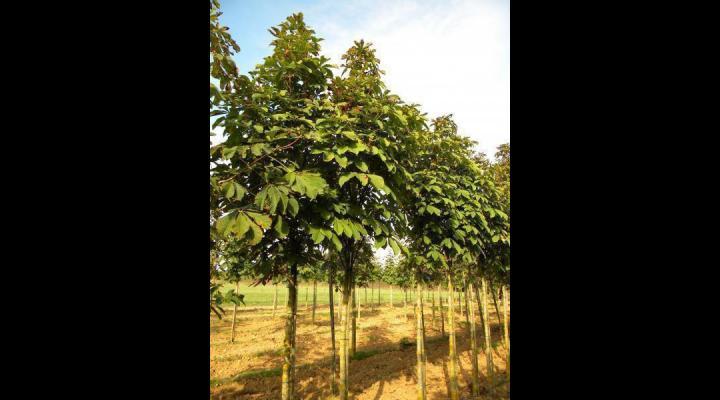 Castani comestibili vor fi plantati la Manesti si Mizil