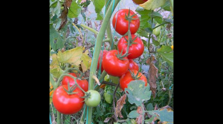 Termenul privind sprijinul financiar pentru producătorii de tomate a fost prelungit