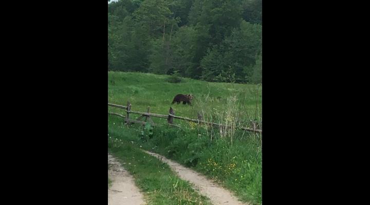 Unde sunt relocați ursoaica și cei doi pui