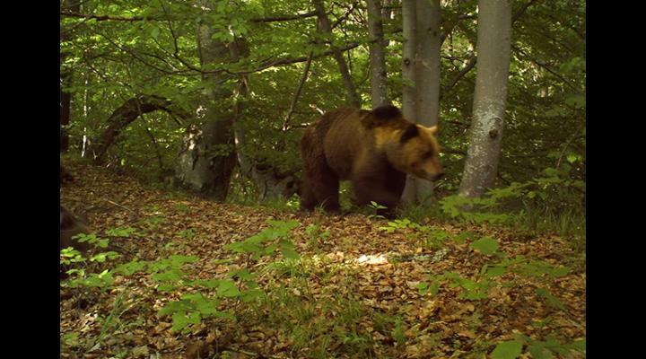 Câți urși sunt în pădurile din Prahova/Efectivul optim