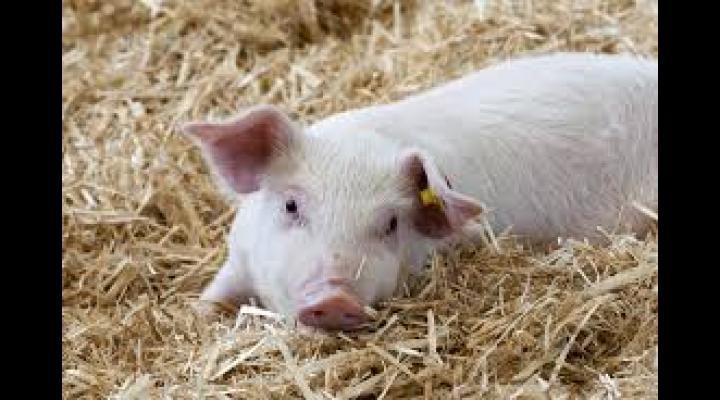 26 de cazuri noi de pestă porcină africană la mistreț și două focare la porcul domestic, in Prahova