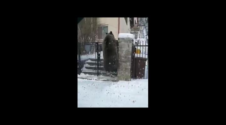 O ursoaică, filmată în Bușteni când sare un gard ca să ajungă la tomberon