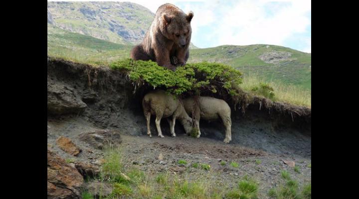 Stână atacată de urs, la Comarnic