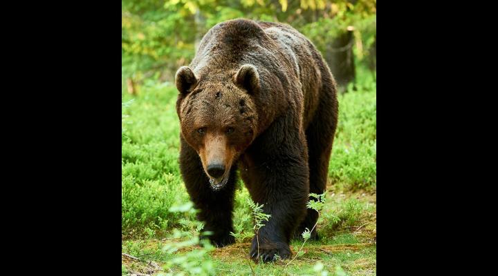 În ce condiții poate fi împușcat un urs. Guvernul României a aprobat o ordonanță de urgență  privind aprobarea metodelor de intervenție pentru specia urs brun