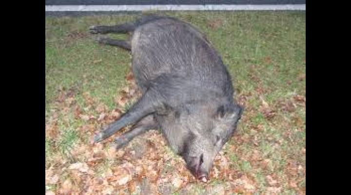 Porci mistreți morți după ce au fost otrăviți, în Prahova