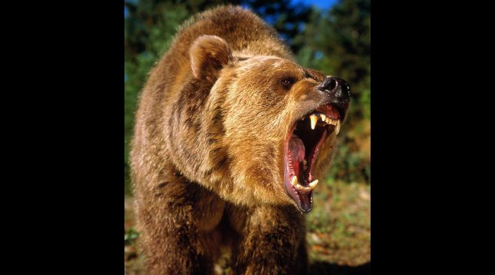 Bărbat mușcat de urs, la Comarnic