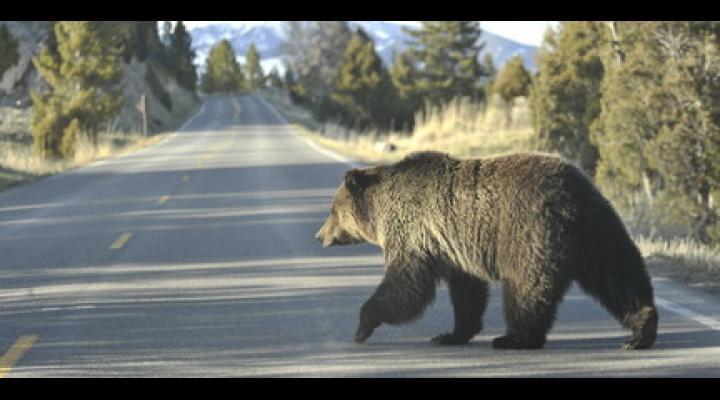 Cioban mușcat de urs în Vâlcănești! Nu este singurul atac al animalelor sălbatice din ultimele zile. Prahovenii s-au confruntat cu urși, vulpi și porci mistreți
