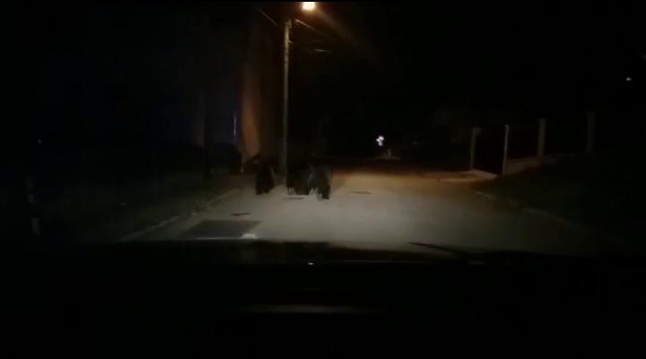 Cum gonesc jandarmii urșii din Bușteni - VIDEO