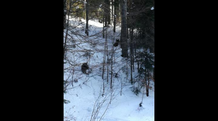 VIDEO Doi ursi au aparut pe o partie din Predeal. Cum au fost alungati
