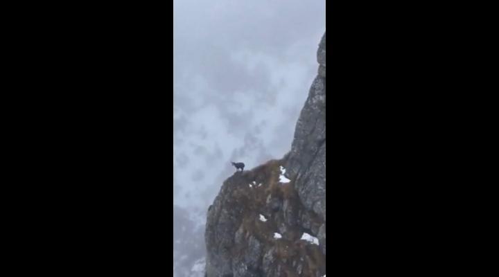 Imagini spectaculoase cu o capră neagră care coboară pe un versant muntos din Parcul Natural Bucegi