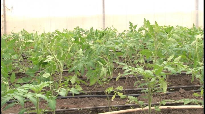 Culturile de rosii, inscrise in programul guvernamental de tomate, afectate de racirea accentuata a vremii. Ce spune conducerea Directiei pentru Agricultura Prahova - VIDEO