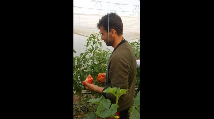 Programul Tomate atrage ca un magnet producatorii