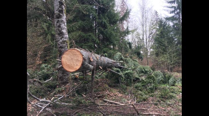 9 percheziţii în Cerașu, la persoane bănuite de sustragere și tăiere ilegală de material lemnos.