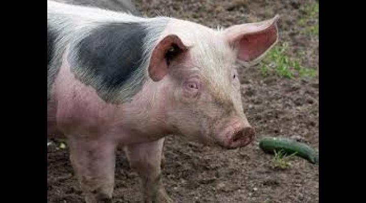 Pesta porcina africana, aproape de Prahova. Politistii din Dambovita au intocmit dosar penal