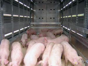Transport ilegal de purcei din Covasna, depistat de politistii prahoveni. Animalele au fost sacrificate
