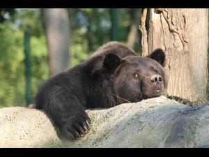 Ursul din Sinaia, folosit pentru poze la Peles, a murit