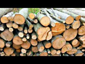 Ce cantitate de lemne de foc mai are in stoc Directia Silvica Prahova