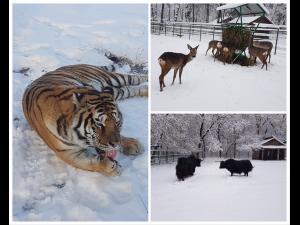FOTO: Tigrii, cerbii si muflonii se bucura de zapada la Zoo Bucov. Exista, insa, si animale mai sensibile pentru care ingrijitorii au pregatit conditii speciale