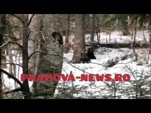 VIDEO: Imagini spectaculoase cu doi ursi surprinsi in Sinaia, la mica distanta de turisti, pe drumul spre Cota 1400