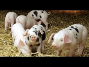 APIA eliberează adeverințe pentru beneficiarii Măsurilor M14 şi M14T, plăți privind bunăstarea animalelor