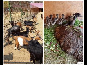 Noi atracții la Zoo Bucov: pui de Emu și iezi - FOTO