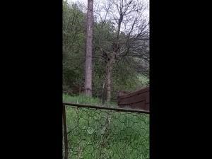VIDEO: Doi pui de urs s-au urcat in copac, intr-o curte din Busteni. Animalele au fost alungate de jandarmi