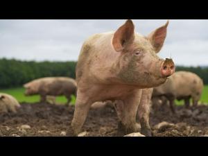 În Prahova au fost stinse oficial toate focarele de pestă porcină
