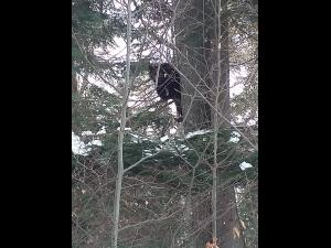 Un urs a aparut, din nou, pe partia Clabucet din Predeal