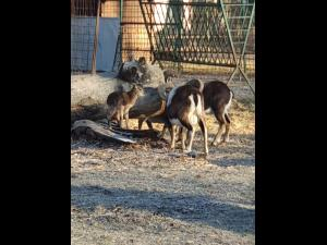 FOTO: Un pui de muflon s-a nascut astazi la Gradina Zoologica Bucov! Urmeaza si altii zilele acestea