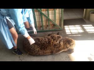 FOTO: O ursoaica gasita pe DN1, in zona Cheia, posibil lovita de masina, a fost salvata