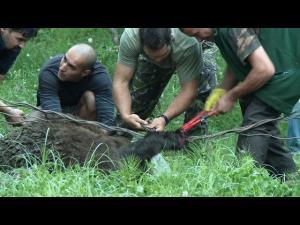 Un urs, rămas blocat într-un gard din Izvoarele, a fost salvat