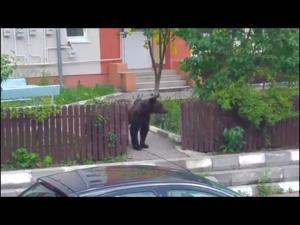 Video - Un urs cauta mancare pe strazile din Busteni, iar un localnic isi risca viata incercand sa-l alunge
