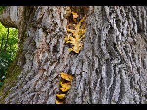 Apelul disperat al unei prahovence: Secularul nostru stejar din Prahova are nevoie de ajutor!.