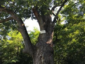 Cel mai batran copac din Prahova are nevoie de tratament urgent pentru a i se prelungi viata. Vorbim despre un stejar de sute de ani - FOTO/VIDEO