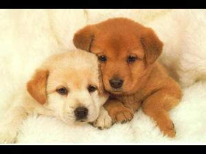 Vaccinarea antirabică a câinilor cu stăpâni este gratuită