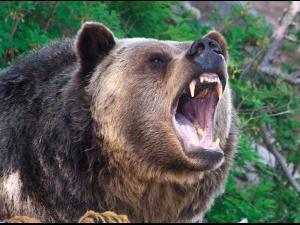 Barbat atacat de urs, noaptea trecuta, la Busteni