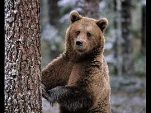 Trei turisti au dat nas in nas cu un urs. S-au cocotat in copac