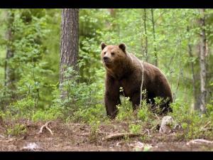 Doi prahoveni atacati de un urs, in Maneciu. Animalul a murit dupa ce a fost lovit cu toporul